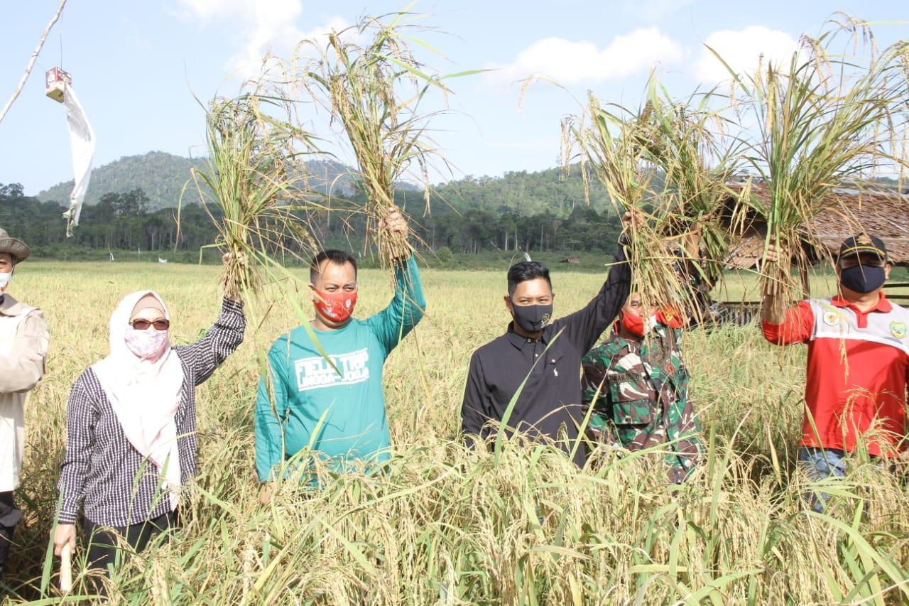 Panen Padi di Percetakan Sawah Desa Lanjut, Kecamatan Singkep Pesisir