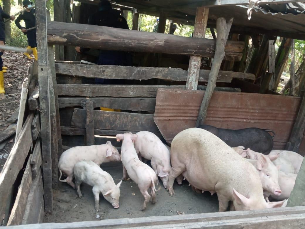 Berkeliaran di Bandara Hang Nadim 36 Ekor Babi Disita
